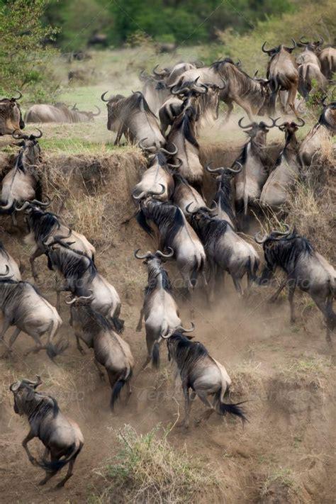Boneka Bantal Running Serengeti Animal Kingdom 41 best serengeti images on animals animal kingdom and animals
