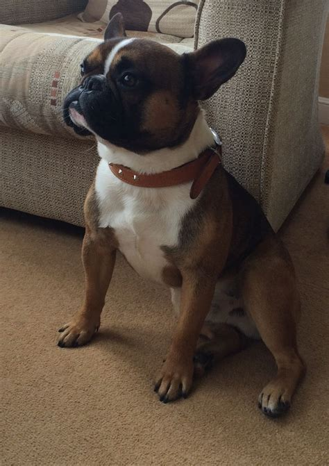 french bulldog for sale uk french bulldog for sale runcorn cheshire pets4homes