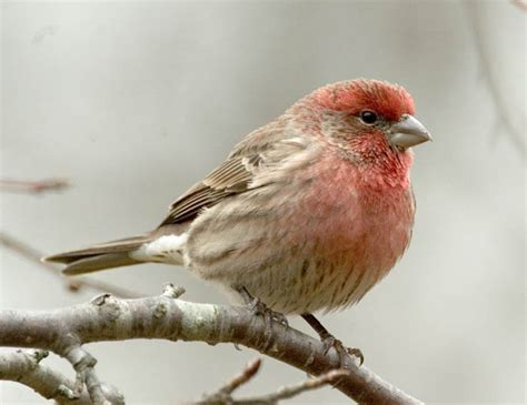 backyard finches house finch pretty singer who visits the trees outside