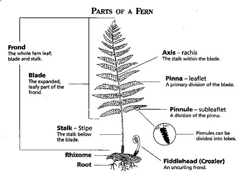 diagram of a fern topic frond structure