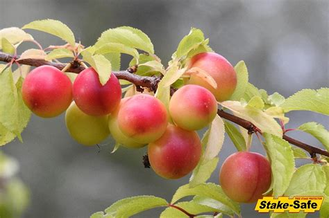 fruit trees that thrive in planting zones 3 4 and fruit