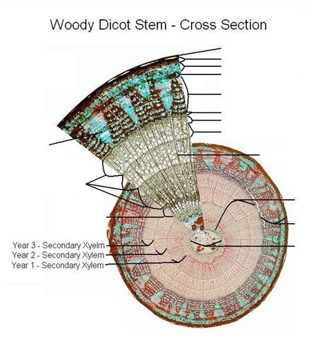 woody dicot stem cross section pin woody dicot stem model 2 on pinterest
