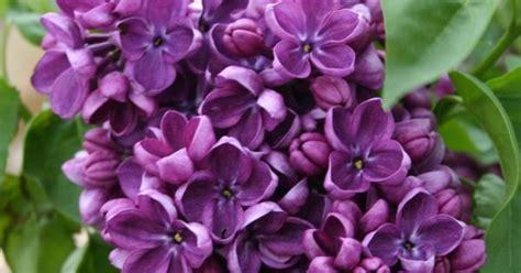 yankee doodle flower yankee doodle lilac bush search flower