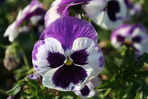 viola fiore coltivazione e cura della viola piante annuali la