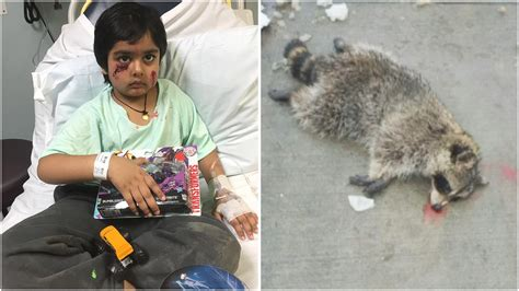 attacks child raccoon that mauled boy 6 in nj was rabid family nbc new york