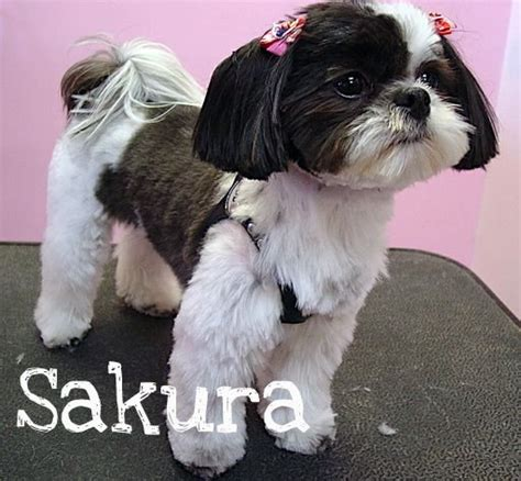 i cant haircut for japanese chin shih tzu dog grooming exles pink pucci