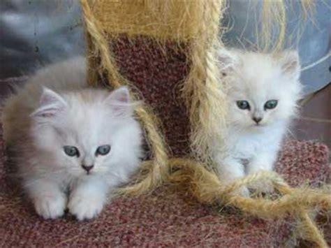 test sul carattere test sul carattere gatto petpassion