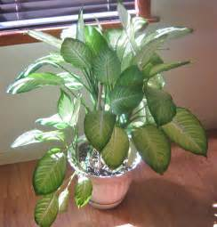 indoor houseplants dumb cane highly toxic house plant indoor jungle