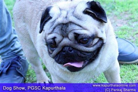 pug show dogs pug breed at show in kapurthala kapurthala show pug and