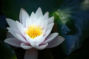 Fleur De Lotus Fleur De Lotus Wallpaper 27 Jpg