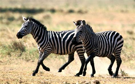 zebra wallpaper for pc wallpapers zebra wallpapers