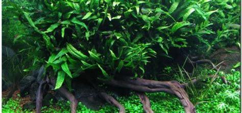 mengenal aneka jenis tanaman hias daun outdoor