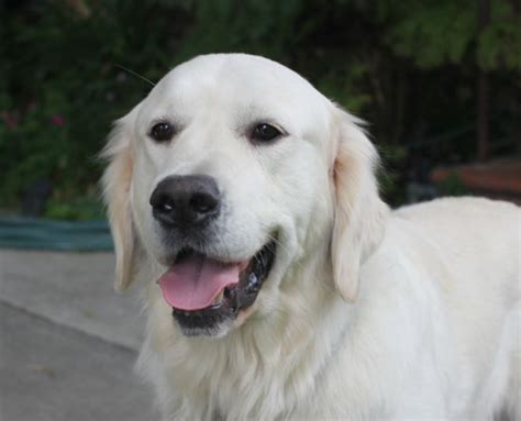 european golden retrievers what is the difference between goldens and american goldens