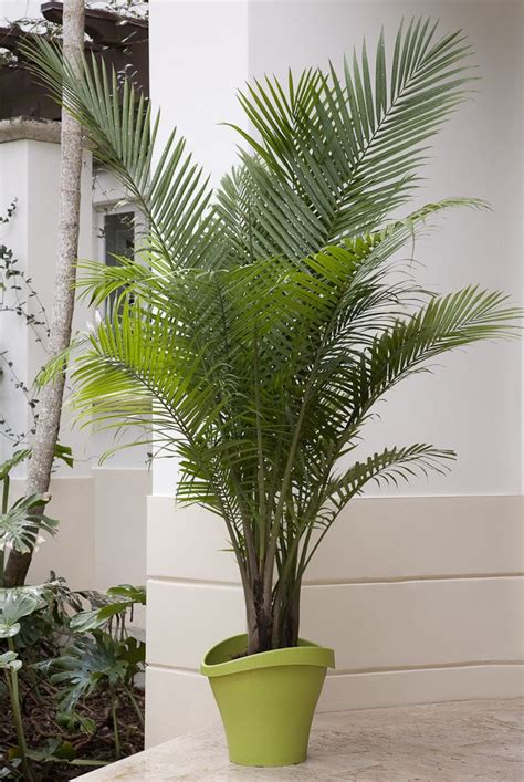 indoor palm coming this week majesty palms a native of madagascar