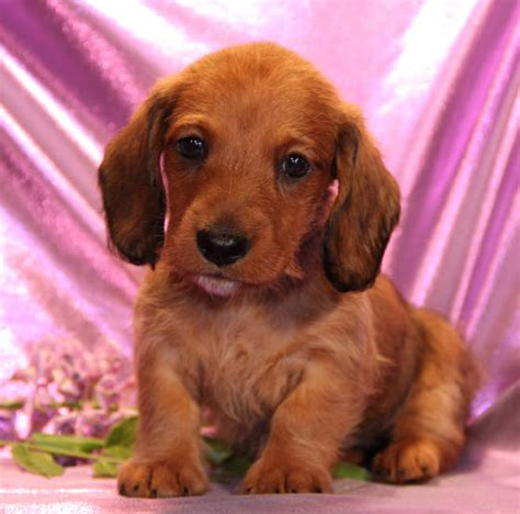 dachshund puppies sc miniature dachshund puppies for sale in colo tug yurhart