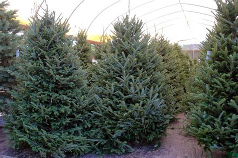best nc christmas tree farm top 28 tree farm in shopper s diary a tree farm in maine gardenista