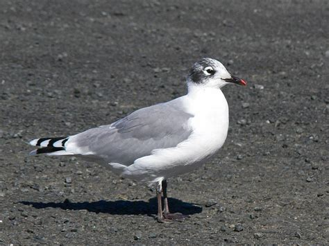 franklin s gull new zealand birds online