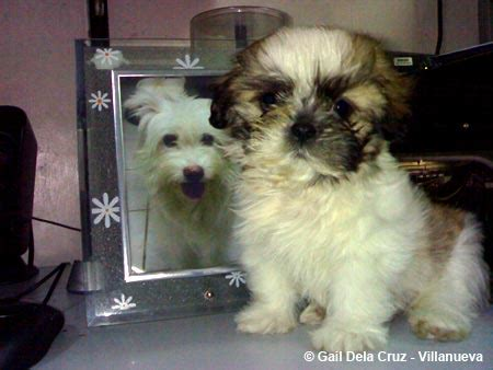 shih tzu spitz mix shih tzu and japanese spitz mix breeds picture
