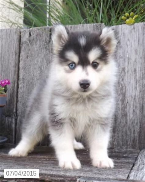 mini pomsky puppies for sale 144 best images about pomsky on 5 month olds i want and huskies