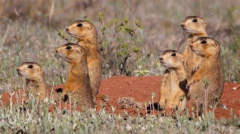 prairie arizona gunnison s prairie dogs arizona highways