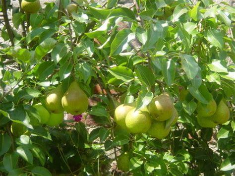Bibit Tanaman Buah Kesemek Dan Pir Coklat jenis tanaman dataran tinggi yang bisa dijadikan sebagai tanaman budidaya sistemhidroponik