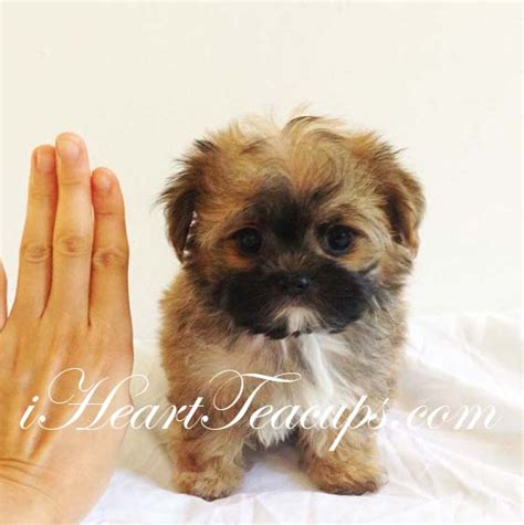 teacup teddy puppies chorkie haircuts newhairstylesformen2014