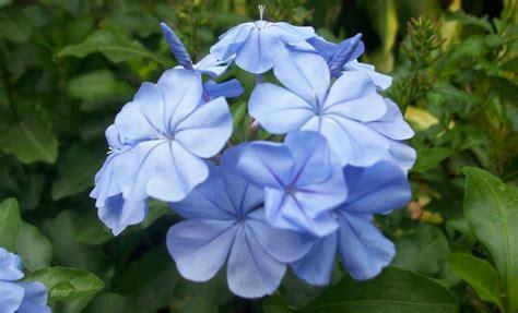 imagenes de flores sobre el agua flores azules lirios de agua im 225 genes y fotos