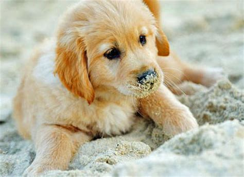 golden retriever names and meanings golden retriever puppy and photo