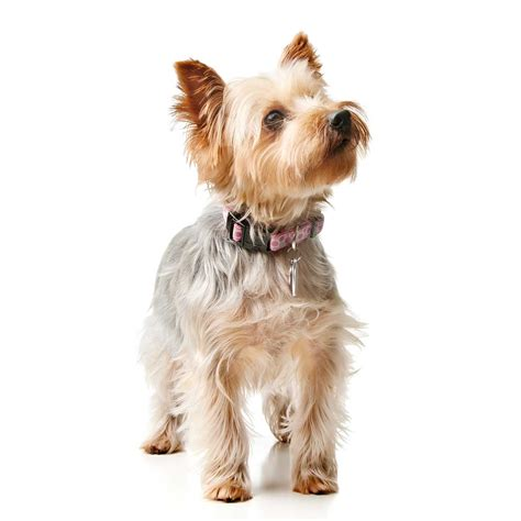 silkie terrier hair cuts australian silky terrier haircut haircuts models ideas