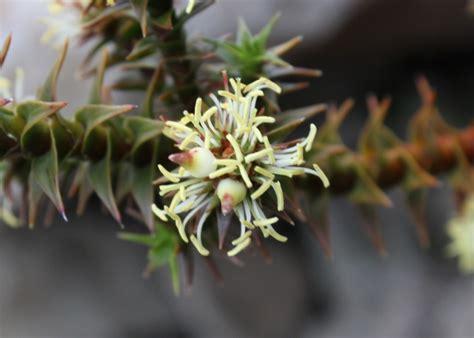 Tas Jacob tasmanian alpine plants ericaceae