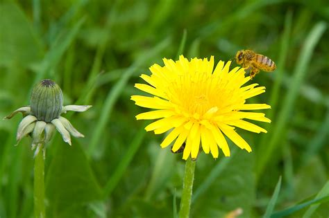 dandelion facts dandelion and a bee free stock photo public domain pictures