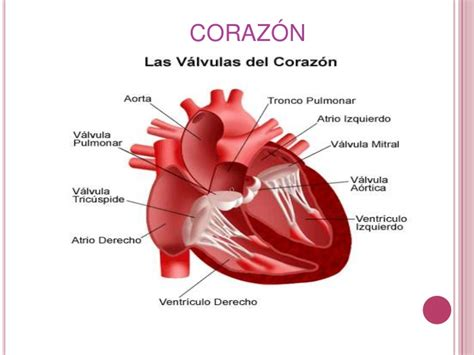el corazn de los anatomia y fisiologia del corazon