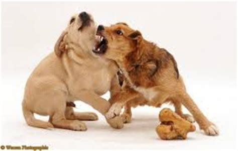 food aggression in dogs aggressive behavior in dogs