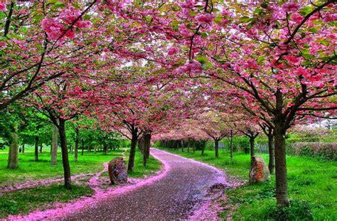 wallpaper bunga sakura cantik blog bunga
