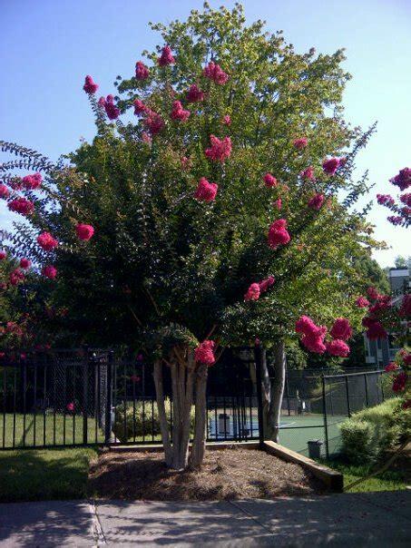trees nc a flowering tree from carolina flowers big