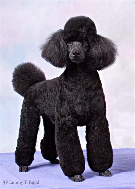 miniature french poodle hairstyles 87 best poodle grooming hairstyles images on pinterest