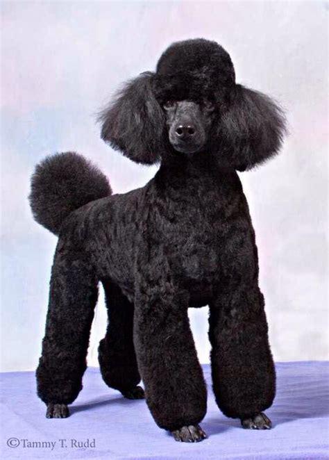 french poodle cuts 51 best poodles images on pinterest poodles standard