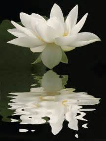 Lotus Day White Lotus Day