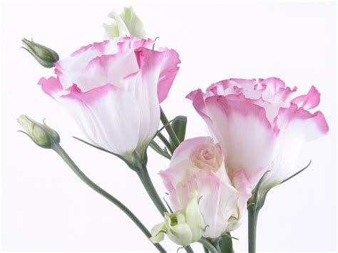 Simple Flower Arrangements by Related Keywords Amp Suggestions For Lisianthus