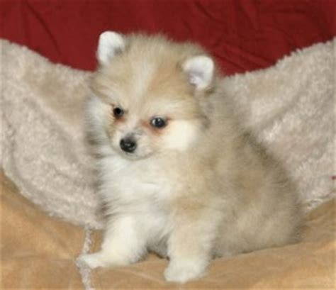 pomeranian puppies for sale in wv pets martinsburg wv free classified ads