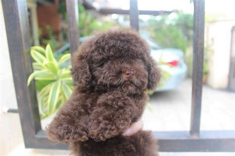 chocolate poodle puppy chocolate poodle www imgkid the image kid has it