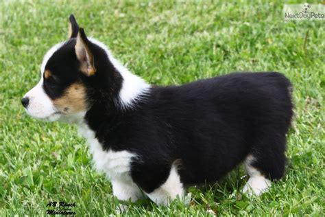 corgi puppies wisconsin black tri 2 corgi pembroke puppy for sale
