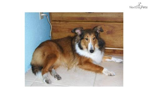 sheltie puppies for sale in florida shetland sheepdog sheltie for sale for 250 near sarasota bradenton florida