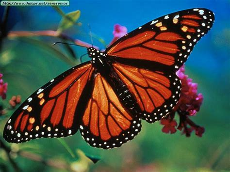 monarch butterfly butterflies group picture image by tag
