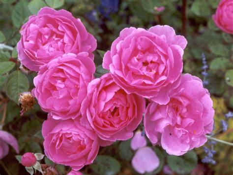 www rose yellow wallpaper pink roses