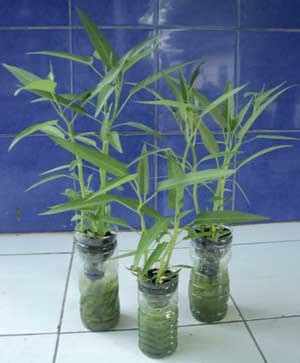 menanam hidroponik botol cara menanam kangkung hidroponik dengan botol bekas