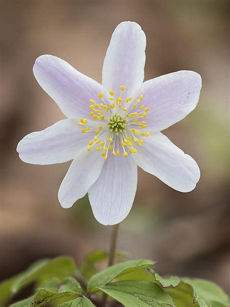 vitsippa anemone nemorosa wood anemone svartfotonse christian ljunggren photography
