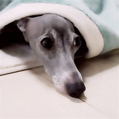 Detox From Whippets by 1664 Best Images About Sighthounds On Whippet