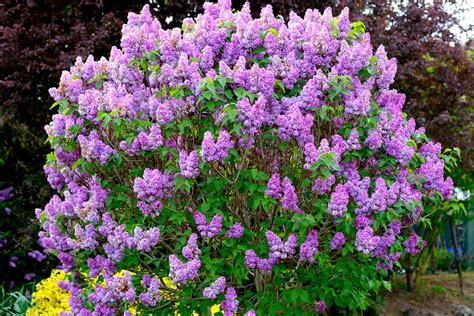 lilac bush purple lilac bush www pixshark com images galleries