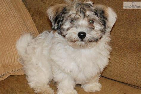 havanese puppies houston havanese puppy for sale near houston f6bfe449 8b61